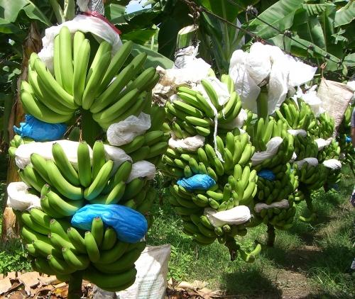 harvested-bananas