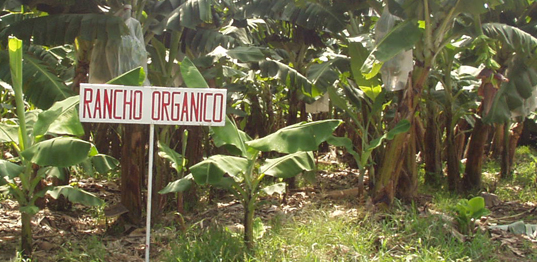 Sustainable Organic Bananas