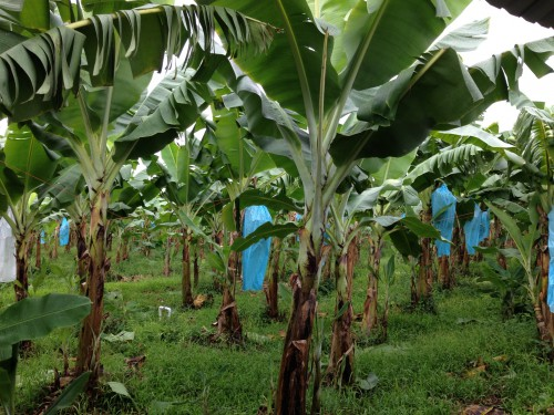Organics Unlimited Banana Farm